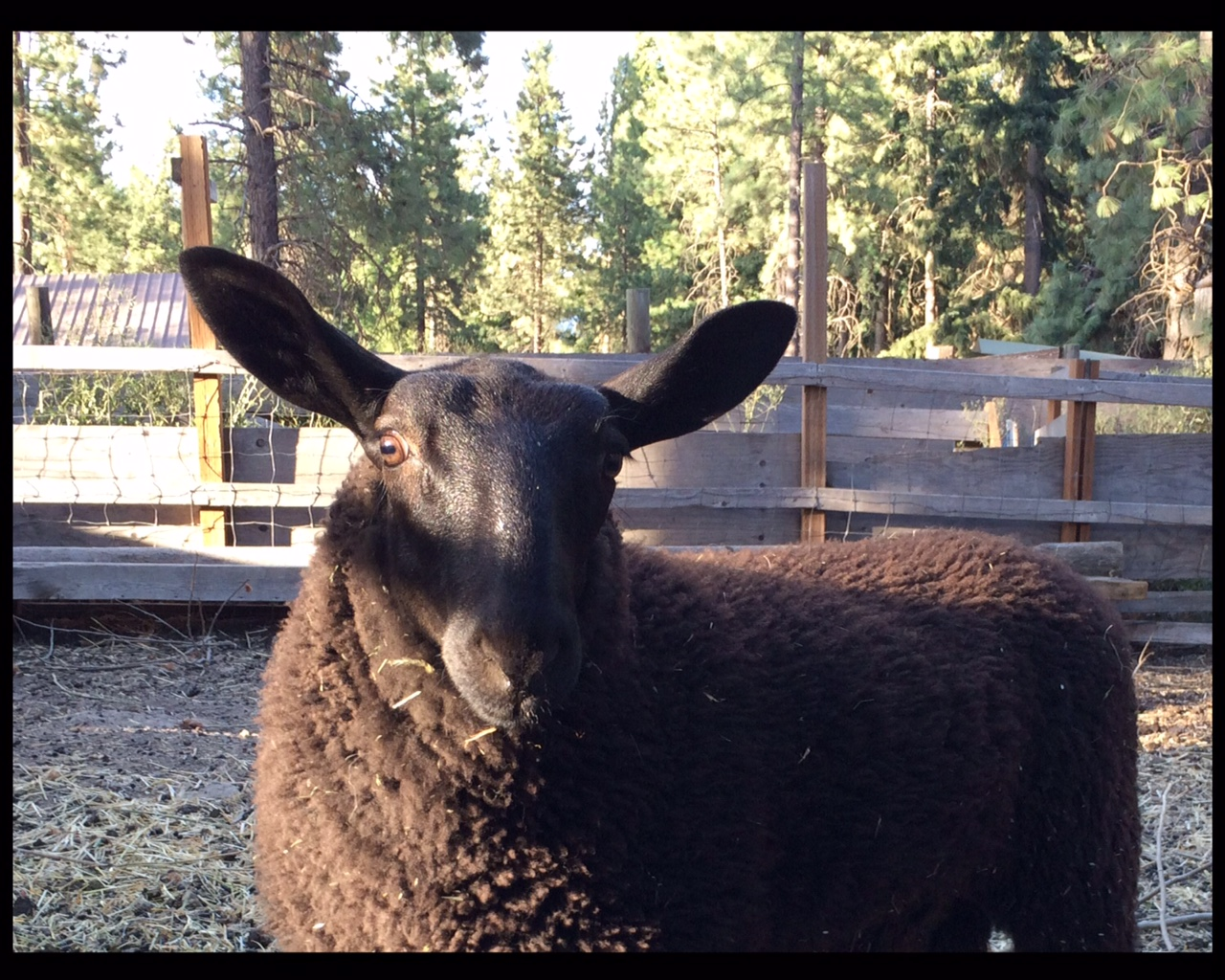 Henry, one of Melissa's rams - Photo by Melissa Bates