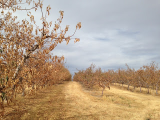 Dry Orchards in Benton County - Photo from WA Dept of Ecology