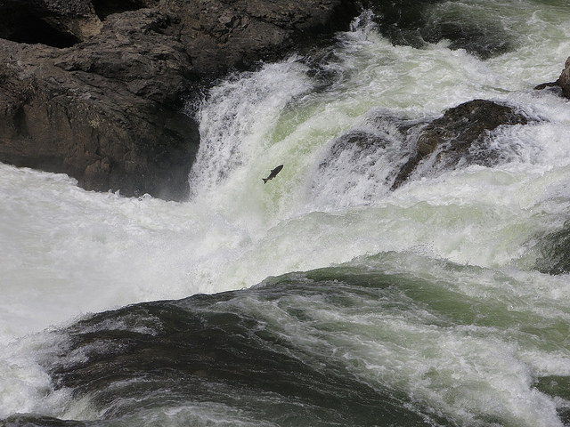 salmon jumping over Similkameen Falls